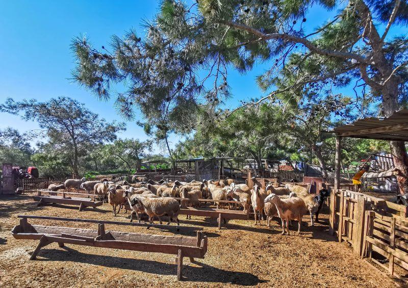 Akdeniz köyünde hayvancılık önemli bir gelir kaynağı