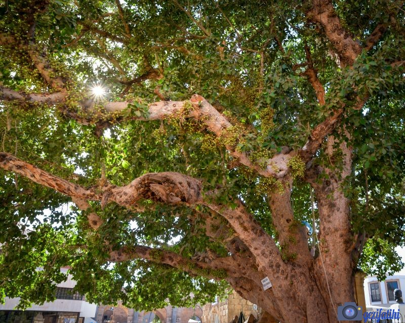 Cümbez Ağacı
